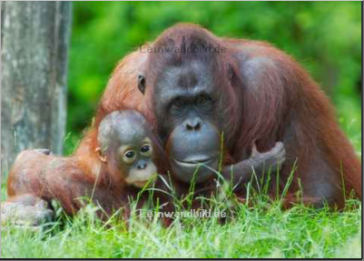 Leinwandbild - Eric Gevaert : mother orangutan with her baby