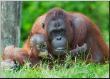 Leinwandbild mother orangutan with her baby