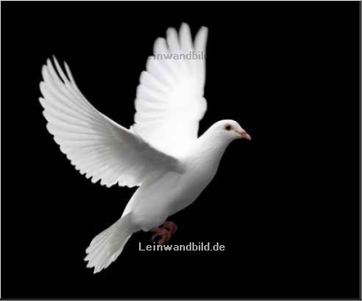Leinwandbild - Ackley Road Photos : white dove in flight 1